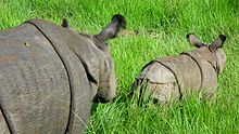 For a change a cub leads her mother in Chitwan National Park.JPG