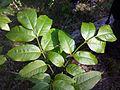 Fraxinus ornus (subsp. ornus) sl8.jpg
