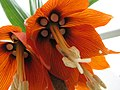 Fritillaria (475930516).jpg