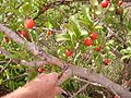 Fruit tree on Mtandi Mountain near Masasi.jpg