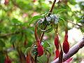 Fuchsia magellanica - inflorescence - 01.JPG