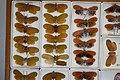 Fulgoridae Drawers - 5036696616.jpg