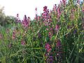 Fumaria officinalis subsp. officinalis sl2.jpg