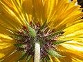 Gaillardia aristata (3751076870).jpg