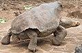 Galápagos Tortoise - Terrestrial Tortoise Breeding Center, Darwin Station, Puerto Ayora, Santa Cruz Island, Galápagos archipelago, Ecuador.jpg