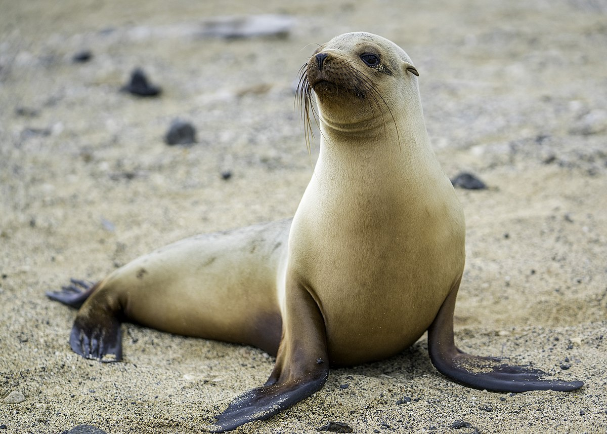 Galápagos sea lion - Wikipedia
