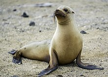 Galapagos, sea-lion, female (by Casey Klebba).jpg