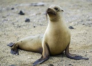 Galápagos sea lion species of mammal
