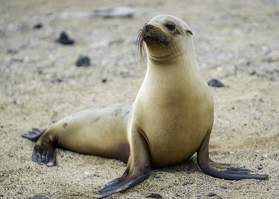 Galapagos, sea-lion, female (by Casey Klebba)