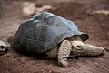 Galapagos tortue.jpg