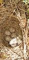Galerida cristata 02 nido by-dpc.jpg