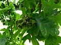 Galls on acorns (17018055019).jpg