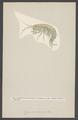 Gammarus pulex - - Print - Iconographia Zoologica - Special Collections University of Amsterdam - UBAINV0274 006 03 0004.tif