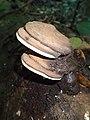 Ganoderma tornatum (Pers.) Bres 504244.jpg