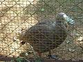 Ganso australiano Zoológico de São Paulo (1).JPG