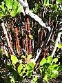 Garrya species near Cuyamaca Mountain - Flickr - theforestprimeval.jpg