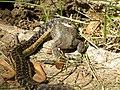 Garter Snake eating American Toad (Still alive), May 24, 2012, Sand Lake MI (7262059026).jpg