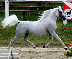A light gray horse moving at a trot through an arena with all four feet off the ground. The tail is upright and the neck is arched.