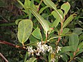Gaultheria fragrantissima at Mannavan Shola, Anamudi Shola National Park, Kerala (3).jpg