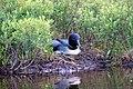 Gavia immer -Maine, USA -nest-8a (2).jpg