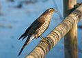 Gavilán - Esparver vulgar - Eurasian sparrowhawk - Accipiter nisus.jpg