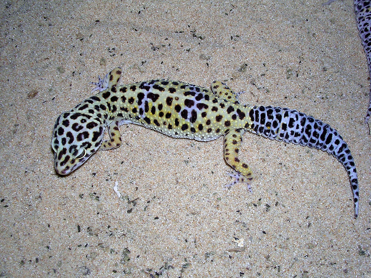 Think, you Pics of adult leopard geckos