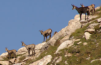 Chamois - Chamois on the Piz Beverin mountain, Switzerland