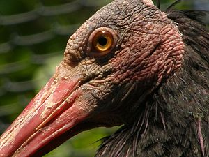 Northern bald ibis - Close-up of an adult's head