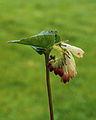 Gewone smeerwortel (Symphytum officinale) 03.JPG
