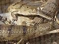 Gharial Crocodiles - Conservation Breeding Center - Kasara - Chitwan National Park - Nepal - 01 (13907486606).jpg