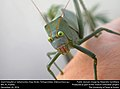 Giant Katydid or Saltamontes Hoja Verde (Tettigoniidae, Stilpnochlora sp.) (31832486681).jpg