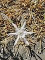 Giglio di Mare (Pancratium Maritimum) WWF Policoro.jpg