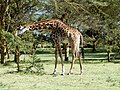 Giraffe. Lake Naivasha National Park - panoramio.jpg