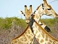 Giraffes (6521935059).jpg