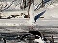 Glaucous Gull flying with Great Black-backed Gulls.jpg