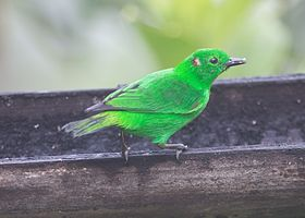 Glistening-green Tanager.jpeg