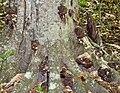 Globifomes graveolens (Schwein.) Murrill 267074.jpg