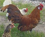 Gold Spangled Hamburg rooster.JPG