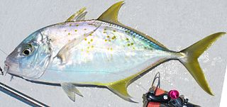 Yellowspotted trevally species of fish