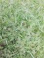 Grass flowers - 3.jpg