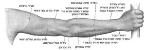 צידה האחורי של היד הימנית