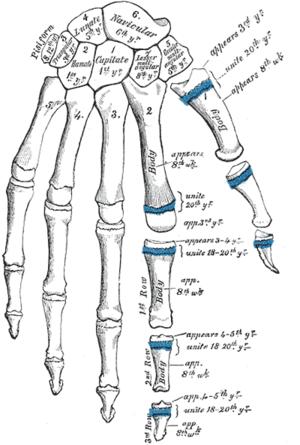 Dedos de la mano - Wikipedia, la enciclopedia libre