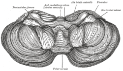 Cerebellar vermis - Wikipedia, the free encyclopedia