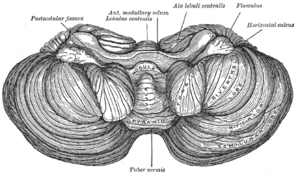 Central lobule - Anterior view of the cerebellum.