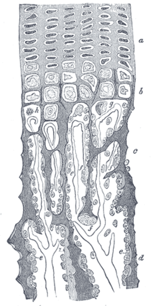 "Endochondral ossification - Drawing of part of a longitudinal section of the developing femur of a rabbit. a. Flattened cartilage cells. b. Enlarged cartilage cells. c, d. Newly formed bone. e. Osteoblasts. f. Giant cells or osteoclasts. g, h. Shrunken cartilage cells. (From ""Atlas of Histology,"" Klein and Noble Smith.)"