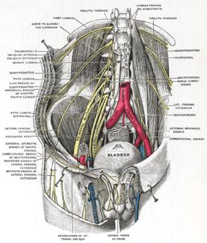 Ilioinguinal nerve - Image: Gray 824