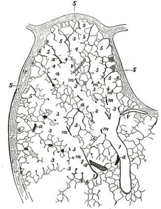 Alveolar duct - Part of a secondary lobule from the depth of a human lung, showing parts of several primary lobules. 1, bronchiole; 2, respiratory bronchiole; 3, alveolar duct; 4, atria; 5, alveolar sac; 6, alveolus or air cell: m, smooth muscle; a, branch pulmonary artery; v, branch pulmonary vein; s, septum between secondary lobules.