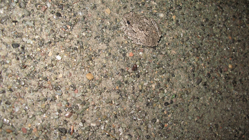 File:Gray Tree Frog (5659652965).png