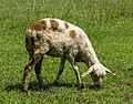 Grazing lamb at University of Jember.jpg
