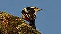 Great Spotted Woodpecker (Dendrocopos major) - Oslo, Norway 2020-12-23 (03).jpg